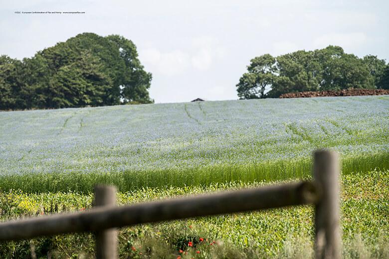 Berneval-le-Grand (76), le 22 juin 2012 : champ de lin en fleurs (Photo Sebastien Rande / CELC)