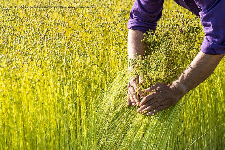 Manneville-es-Plains (76), le 25 juillet 2012 : mains d'Alain Blosseville, president de la cooperative Terre de Lin (Photo Sebastien Rande / CELC)